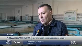 Двухметровую белугу поймали в Атырауской области