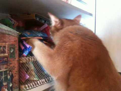 Dagobert the somali cat raiding the kitchen cupboard