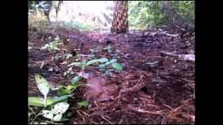 Ayam Hutan Pikat Betina 63