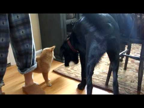 Black Lab Puppy Trying to Play with Shiba Inu Puppy