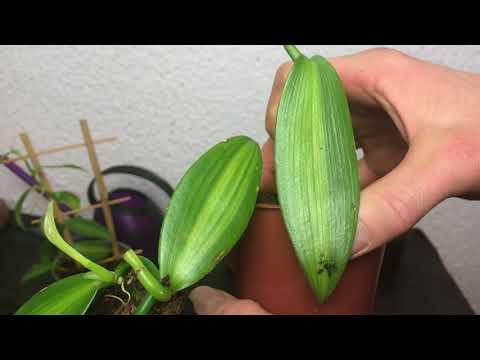 Orchideen: Echte Vanille (Vanilla planifolia) über Stecklinge vermehren