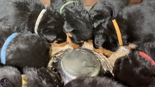 Weaning 4 Weeks Old Rottweiler Puppies  How to Make Puppy Mush