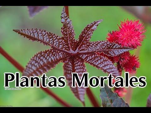 las plantas mas mortales para los humanos top las