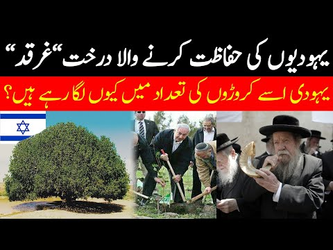 Why Israel Jews Planting Millions Of Gharqad Tree. Gharqad Tree In Israel   Urdu-Hindi