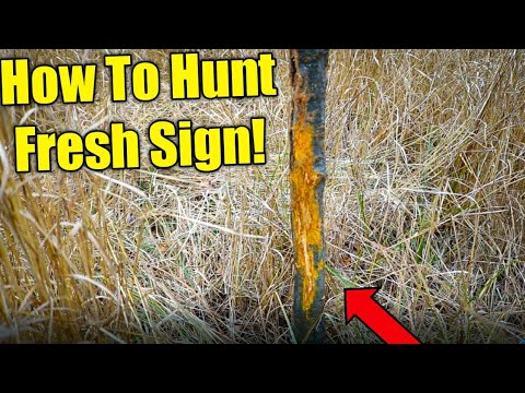 How To Read And Hunt Fresh Buck Sign!! (EASY) 2020