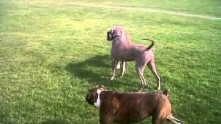 Benny The Boxer Meets Archie The Weimaraner