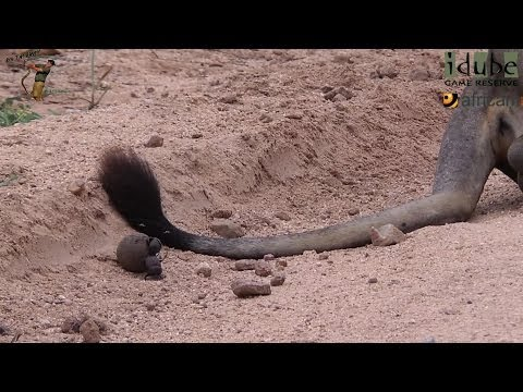 Dung Beetles Vs Lion? #youtubeZA