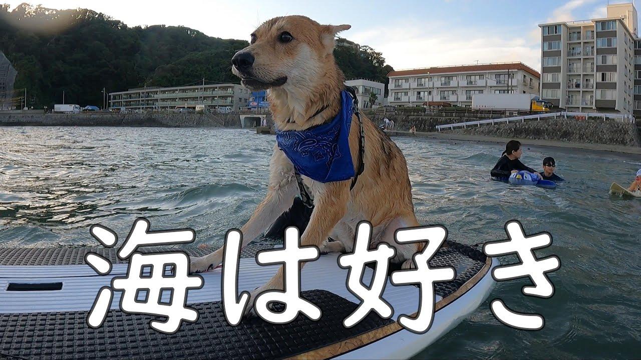 怖がりな犬、サーフィンをする