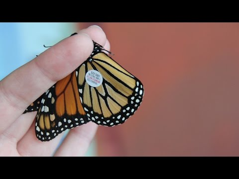 How to tag a monarch butterfly