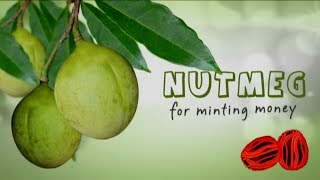 Nutmeg for Minting Money - English