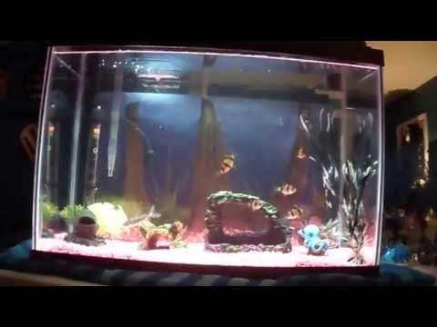 Pictus Catfish And Tiger Barbs In A 20 Gallon Tank!