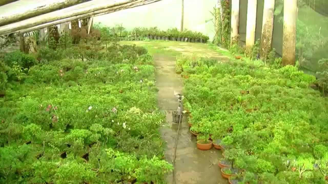 Como sembrar bons is parte 2 tvagro por juan gonzalo for Como cultivar bonsais
