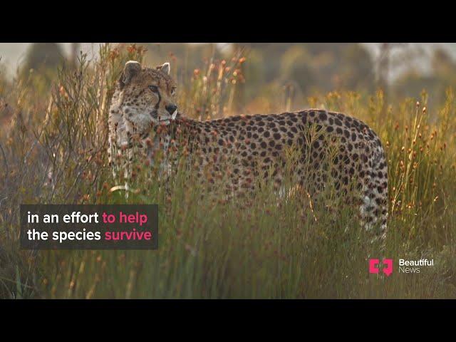 Beautiful news with beautiful cheetah Pema
