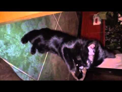 Shirazi mau mama and cute kittens