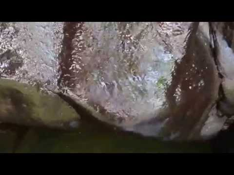 Can Hawaii's waterfall-climbing fish survive when mountain rains change?