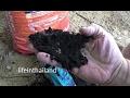 Adding bio char to the duck pen to combat odor and make super fertilizer.
