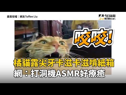 橘貓露尖牙卡滋卡滋啃紙箱  網:打洞機ASMR好療癒