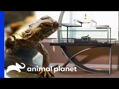 Creating a True Work of Art For a Uromastyx's Stylish New Home | Scaled