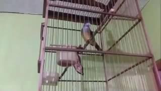 Kicauan Burung Kores/cucak Jenggot Lagi Teler