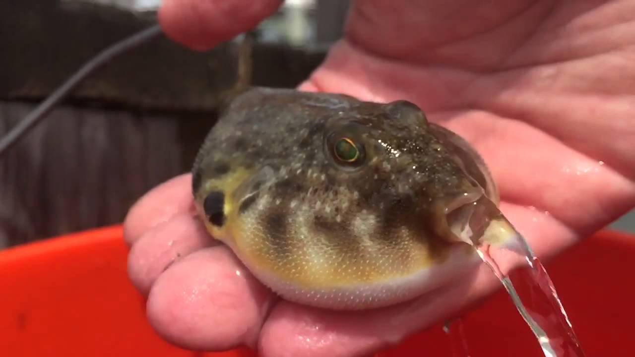 Puffer fish releasing water youtube for What is a puffer fish