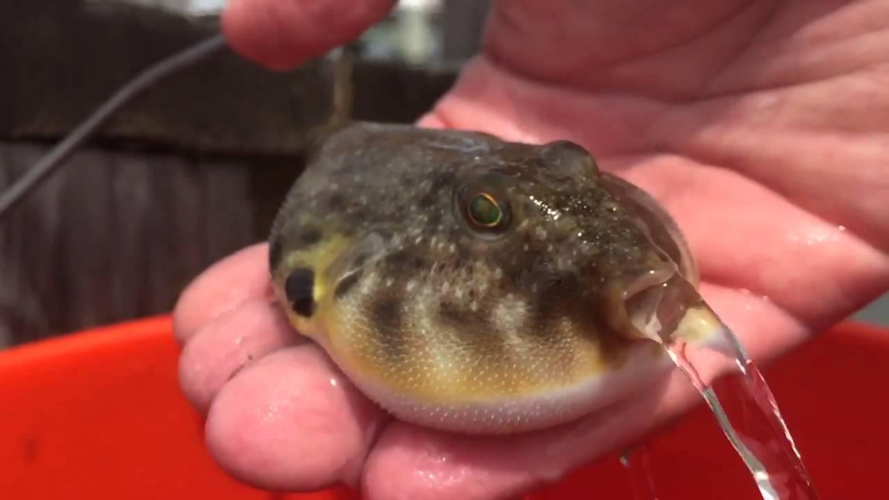 Puffer fish releasing water youtube for Blowfish vs puffer fish