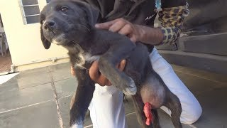 Puppy with intestine bursting out of wound rescued