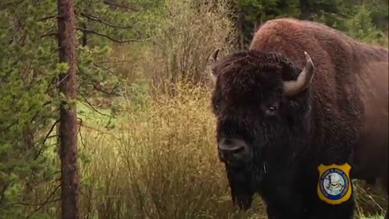 Wyoming Wild Bison - YouTube
