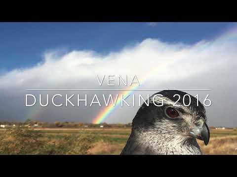 Duckhawking With Female North American Goshawk