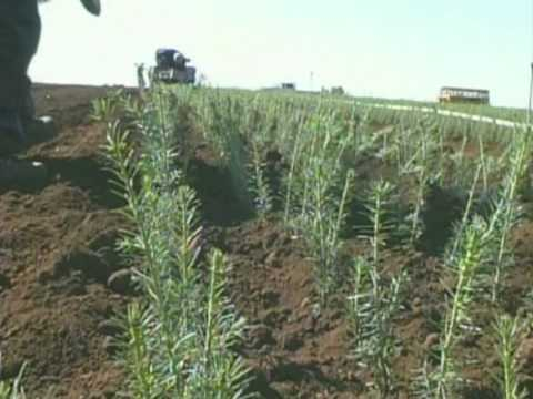 Silver Mountain Christmas Trees Growing Seedlings YouTube - Christmas Tree Seedlings