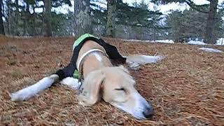 雪原さんぽを楽しんだれぴ助(サルーキ)! 疲れたようで、休憩のつもり...
