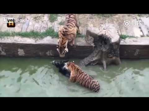 Live Donkey Fed to Tigers at Chinese Zoo