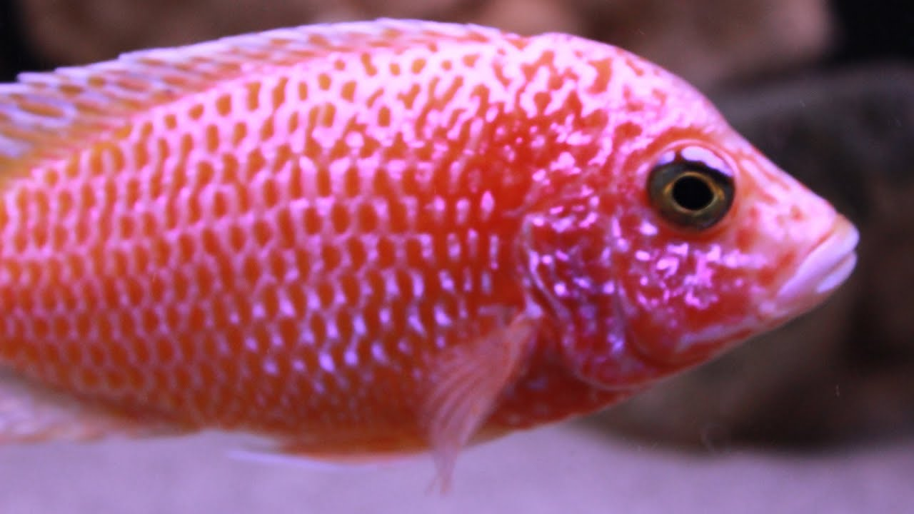 Dragon Blood Peacock Cichlid The Colorful Dr...