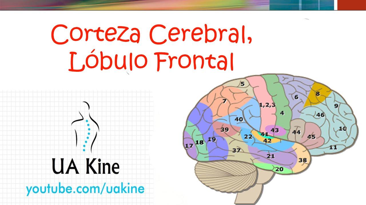 Corteza Cerebral y Lobulo Frontal - Neurociencias - YouTube