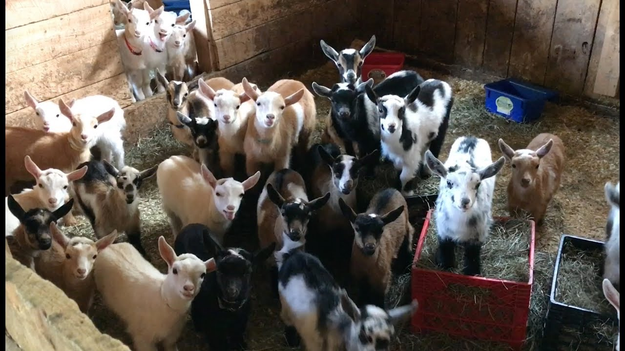 446eadbc9 Mornings are Never Dull With 53 Baby Goats! - YouTube