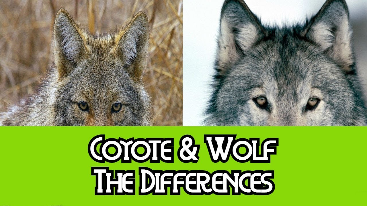 Coyote & Wolf - The Differences - YouTube