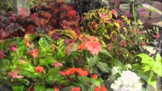 Gardening Tips With Plymouth Nursery: Effect Of Downy Mildew On Impatiens