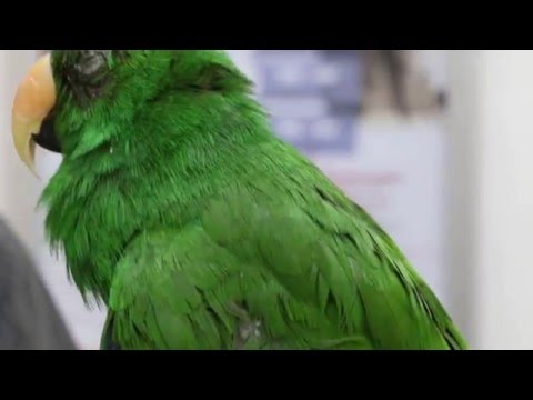 An Amazon green parrot has upper respiratory tract infection