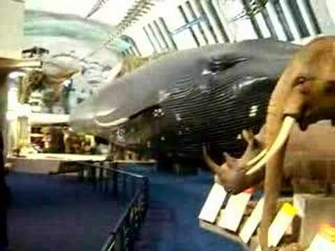 Blue whale in Natural History Museum