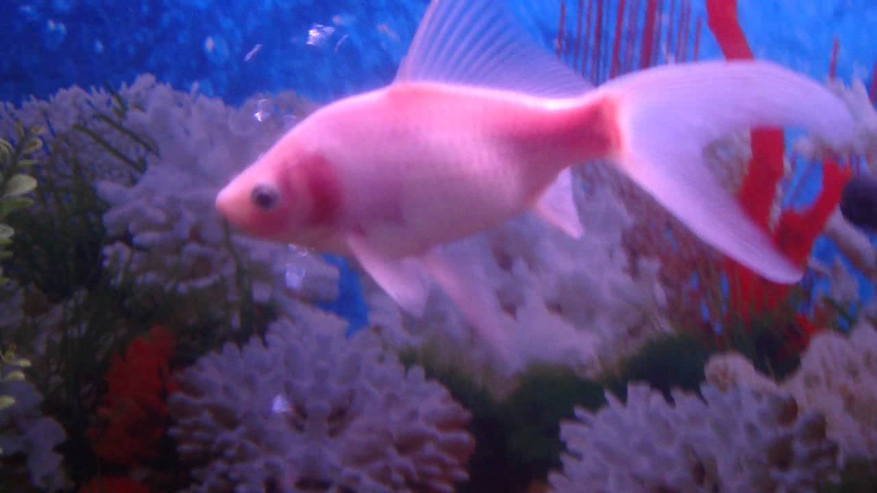 Fish aquarium karachi - Pakistan S Fish Aquarium Orange White Long Tail Fish Video