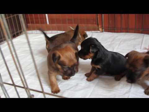 Australian terrier puppies - little boxer