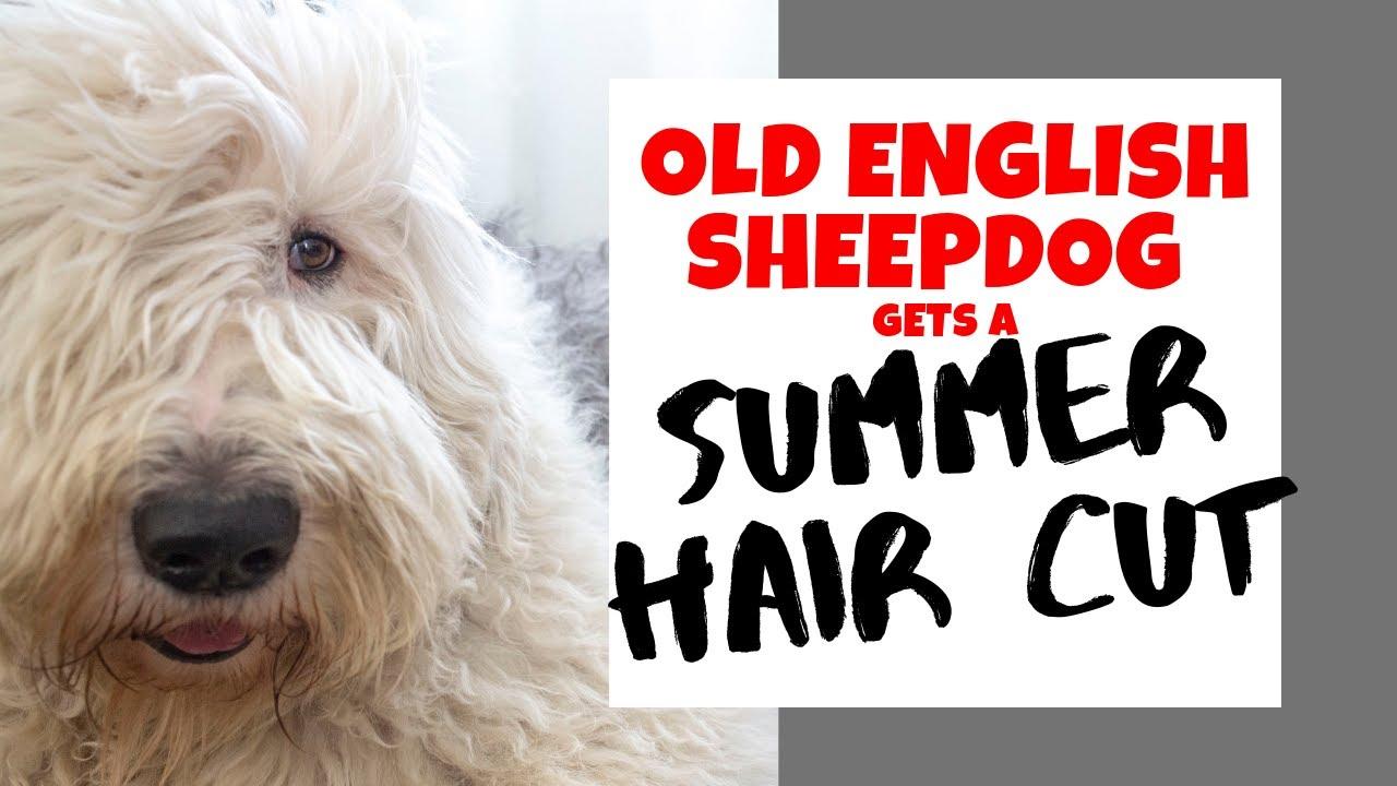 Old English Sheepdog gets SUMMER HAIR CUT┃Ed\u0026Mel