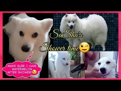 HOW TO TAKE A BATH AND BLOW DRY JAPANESE SPITZ DOG | CUTE DOGGIE
