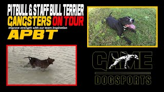 Pitbull and Staff Bull Terrier Gangsters on Tour Thailand