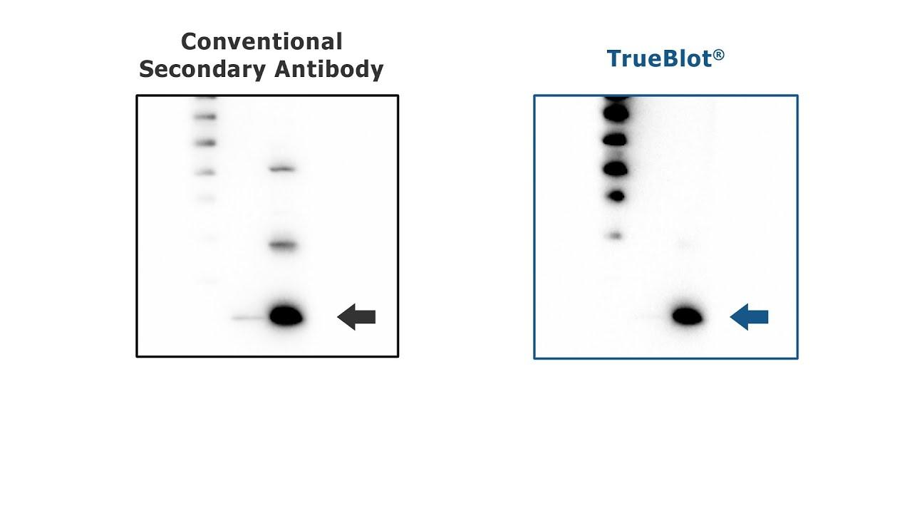 TrueBlot® Antibodies - Tutorial for IP / Western Blot