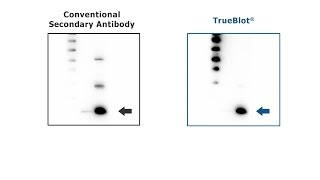 TrueBlot® Antibodies - Tutorial for IP / Western Blot