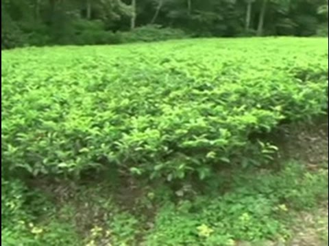 Ada Derana Special:150 Years of Ceylon Tea (English)