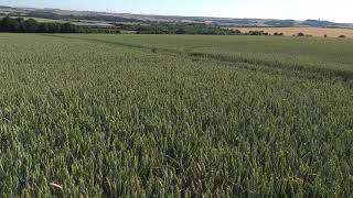 AminoA Triton drilled siskin 5th wheat drilled December 15th photo taken July 2nd