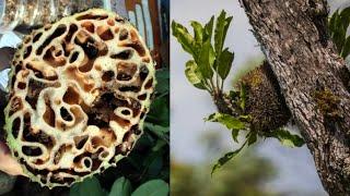 SARMUCARE Asli Ekstrak Sarang Semut Papua Kualitas Premium Paling Bagus