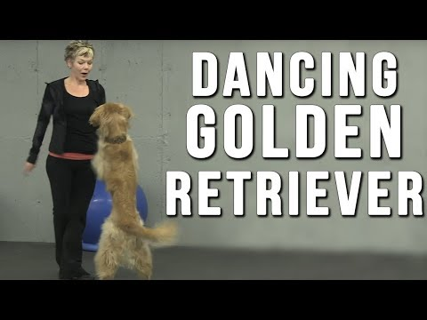 Amazing Dancing Dog Bob Fosse the Golden Retriever Dazzles with Talent In Canine Freestyle Routine