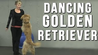 Amazing Dancing Golden Retriever Dog Bob Fosse Dazzles With Moves And Talent.
